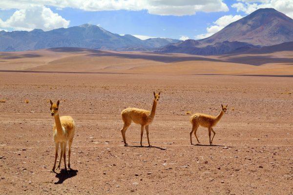 Tiere in der Atacama Wüste