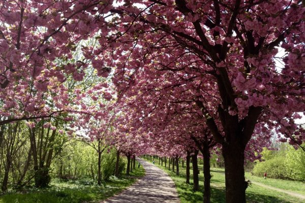 Berlin Kirschblüte in Deutschland