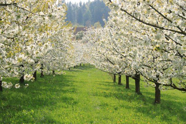 Fränkische Schweiz Kirschblüten