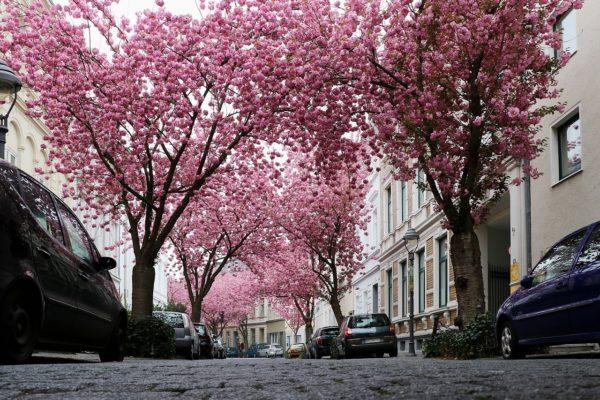 Kirschbäume in Bonn