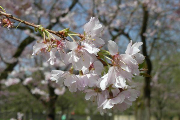 Kirschblüte an dem Schwetzinger Schloss