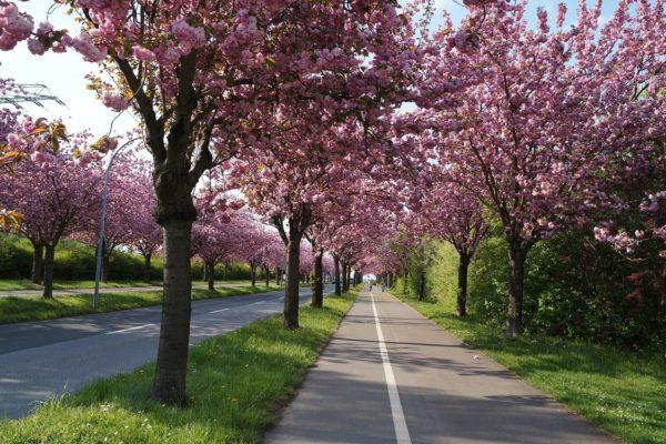 Kirschblüten in Magdeburg