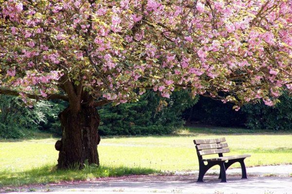 Leipzig Kirschblüten Hanami